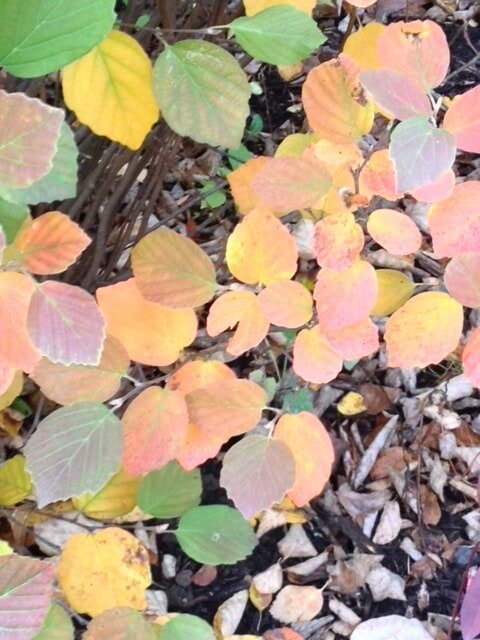 F. major - Fall ~ 5 Must Have Shrubs ~ gardenmatter.com