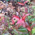 Penstemon 'Husker's Red'