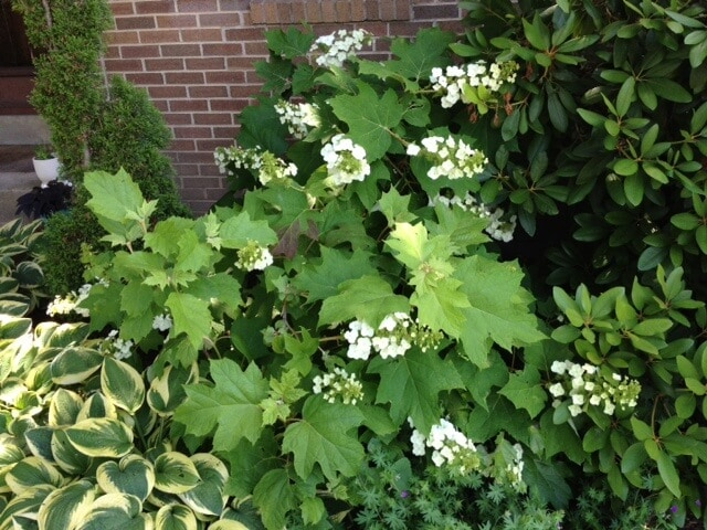 Oakleaf hydrangea growing on side of the house next to hosta and rhododendron.