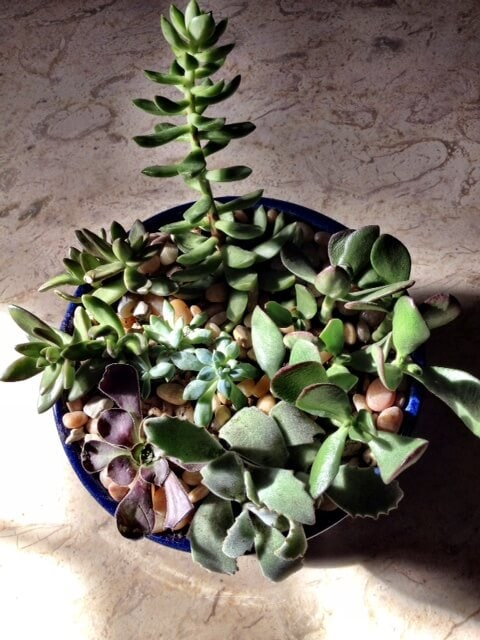 Succulentdish