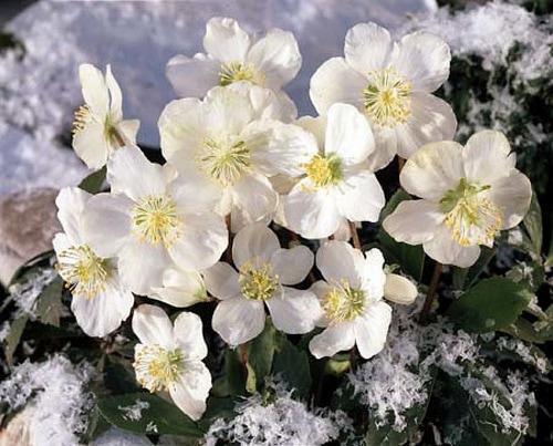 Christmas Plant Lore – Tis the Season