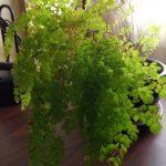 Maidenhair fern window pic