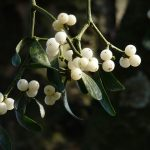 All About Mistletoe: A Fun Holiday Tradition