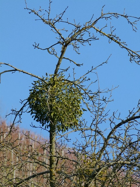 mistletoe in tree