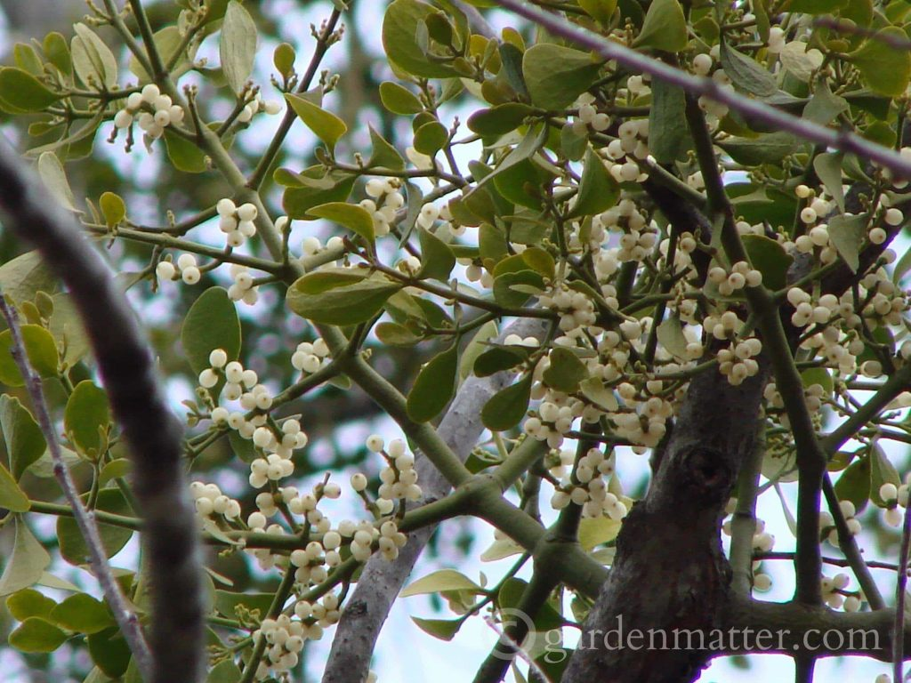 Learn all about mistletoe. How it grows and the history of the well known traditions of hanging some in the entrance of your home.