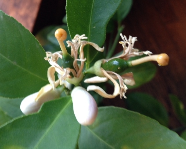 Lemon Tree Update – Another Bright Light in the Winter
