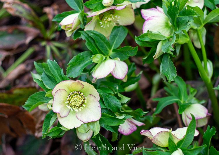 Cream colored hellebore in bloom