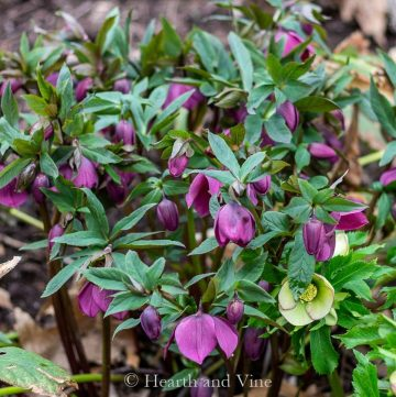 Dark purple hellebore in the garden