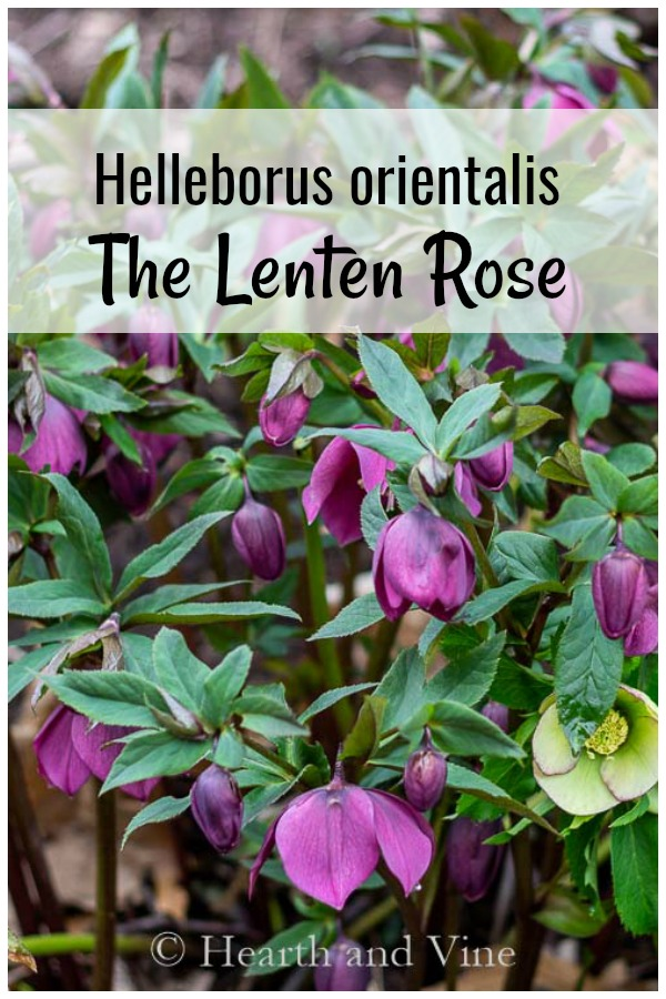 Purple lenten rose with graphics