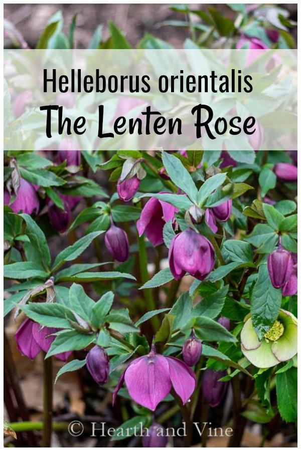 Purple lenten rose with graphics