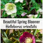 Dark and light hellebores with graphics