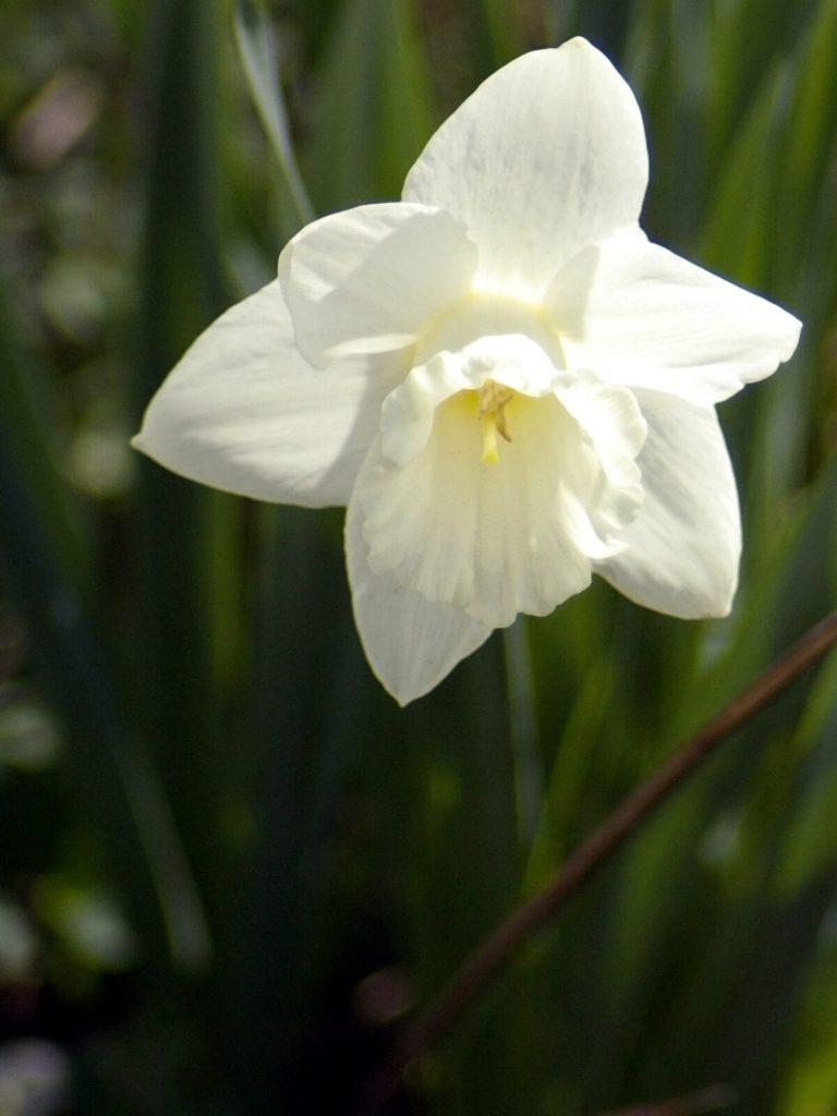white daffodil ~ white garden ~ gardenmatter.com