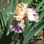 An Heirloom, A Collectors Favorite &  A Must Have for Beginners – The Bearded Iris