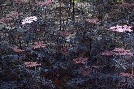 Sambucus nigra Black Lace