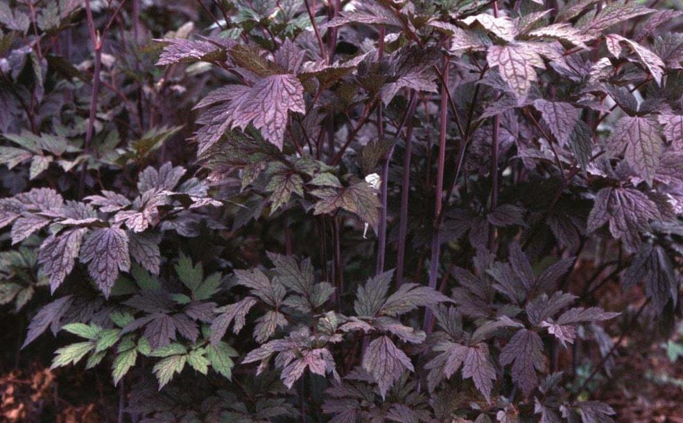 Cimicifuga 'Hillside Black Beauty'