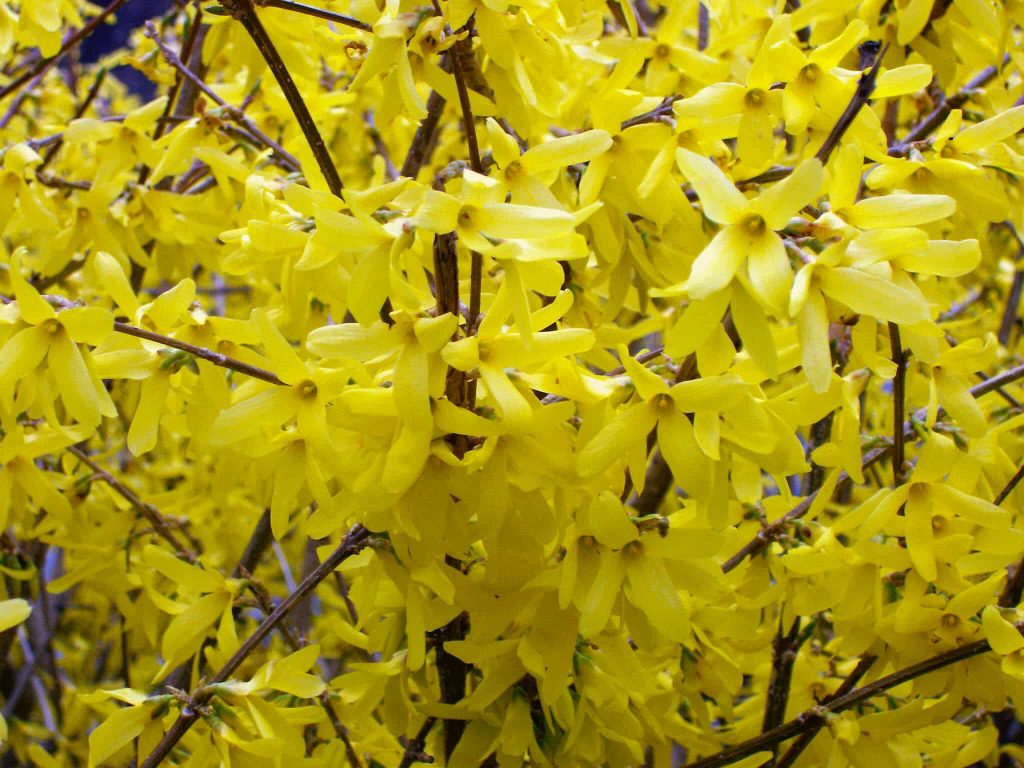 Forcing Forsythia and Other Flowering Branches