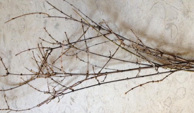 choosing branches ~ forcing forsythia branches ~ gardenmatter.com