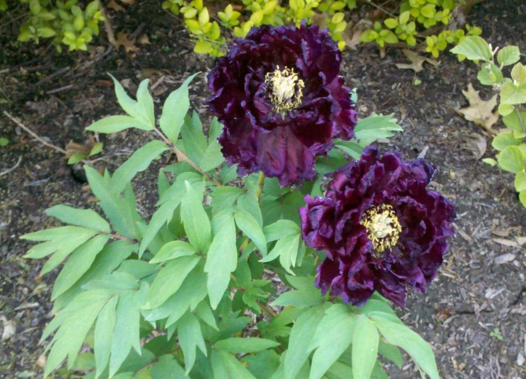 Black Flower King - Tree Peony