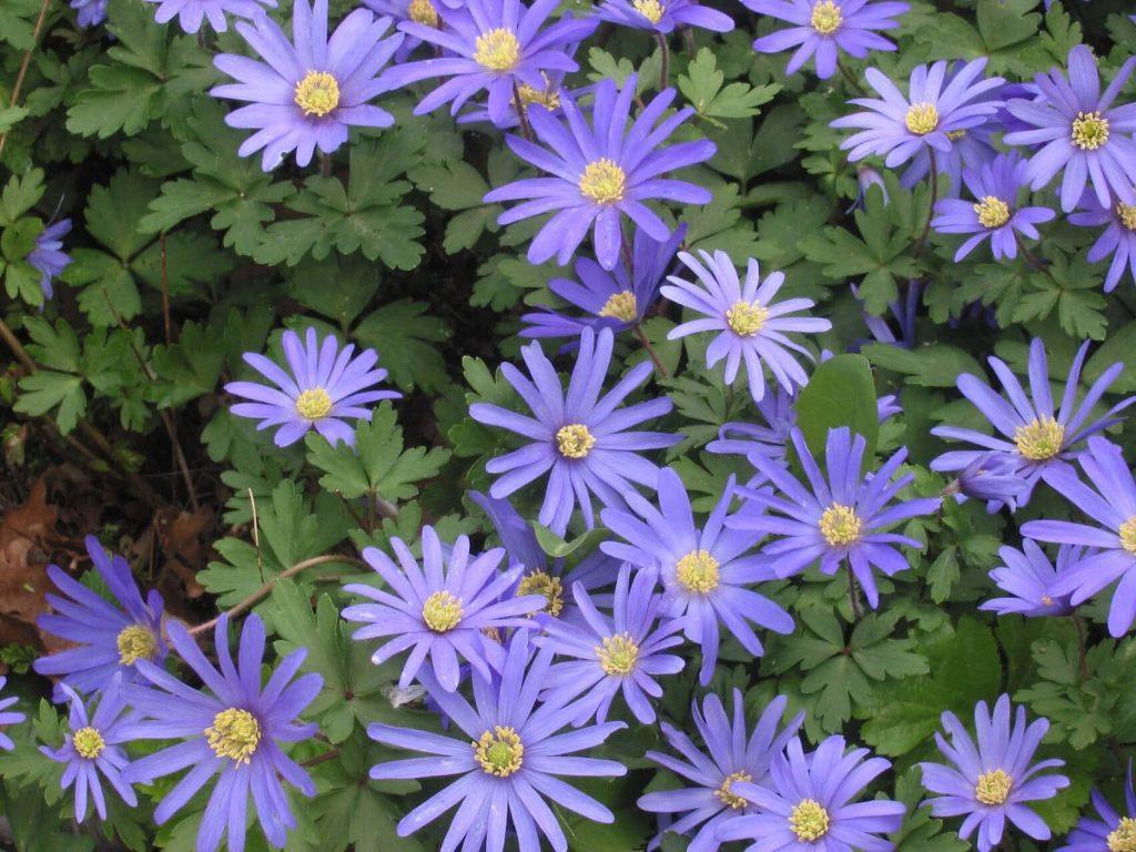 Anemone blanda ~ spring ephemerals ~ gardenmatter.com