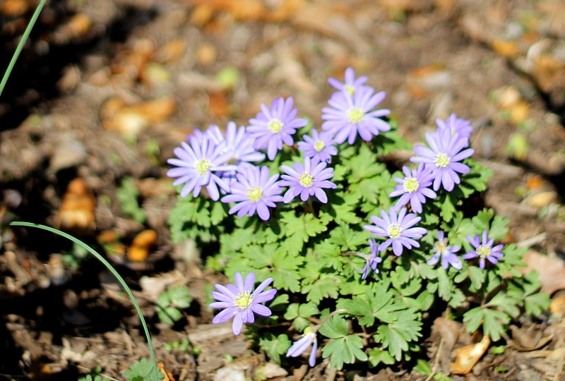 Grecian Windflower - Spring Ephemerals - gardenmatter.com