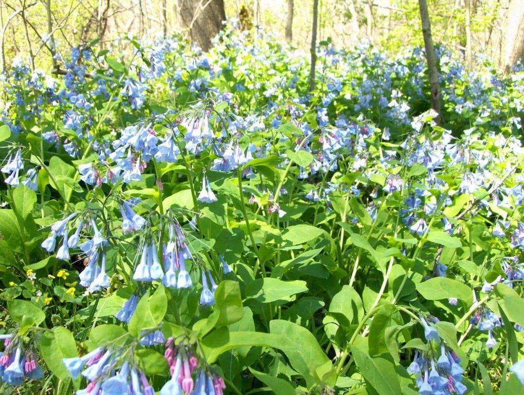 Virginia Bluebells ~ spring ephemerals ~ gardenmatter.com