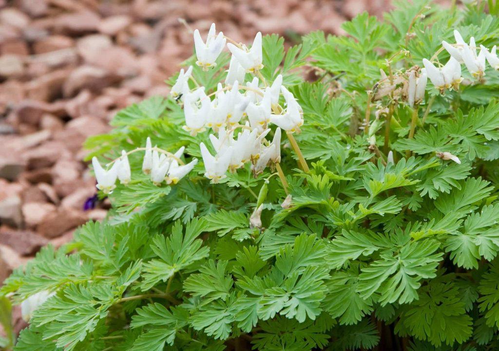 Duthman's Breeches ~ spring ephemerals ~ gardenmatter.com