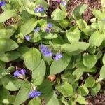 Blue Lungwort