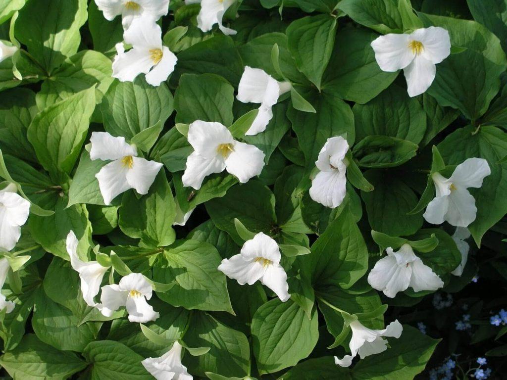 Trillium ~ spring ephemerals ~ gardenmatter.com