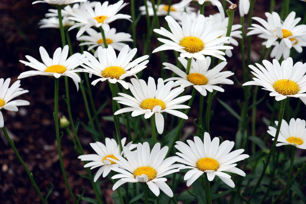 Shasta daises ~ white garden ~ gardenmatter.com