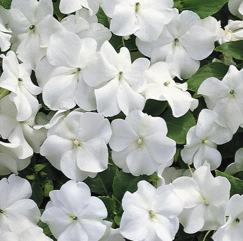 White Impatiens - white in the garden