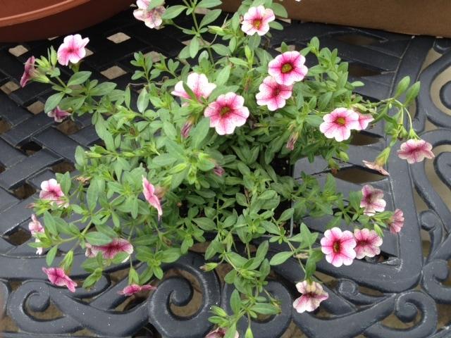 Calibrachoa Cabaret pink vein