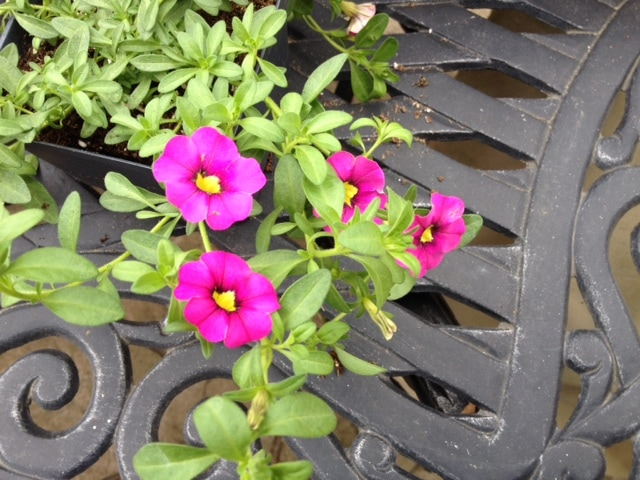 Calibrachoa generation pink