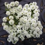 Alyssum 'easter bonnet white'