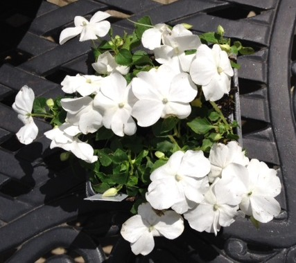 Impatien super elfin white