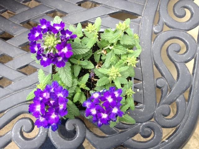 Verbena 'tuscany blue'