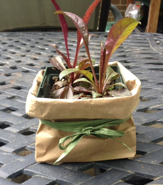 Division of penstemon in a nursery pot with a brown paper bag and bow.