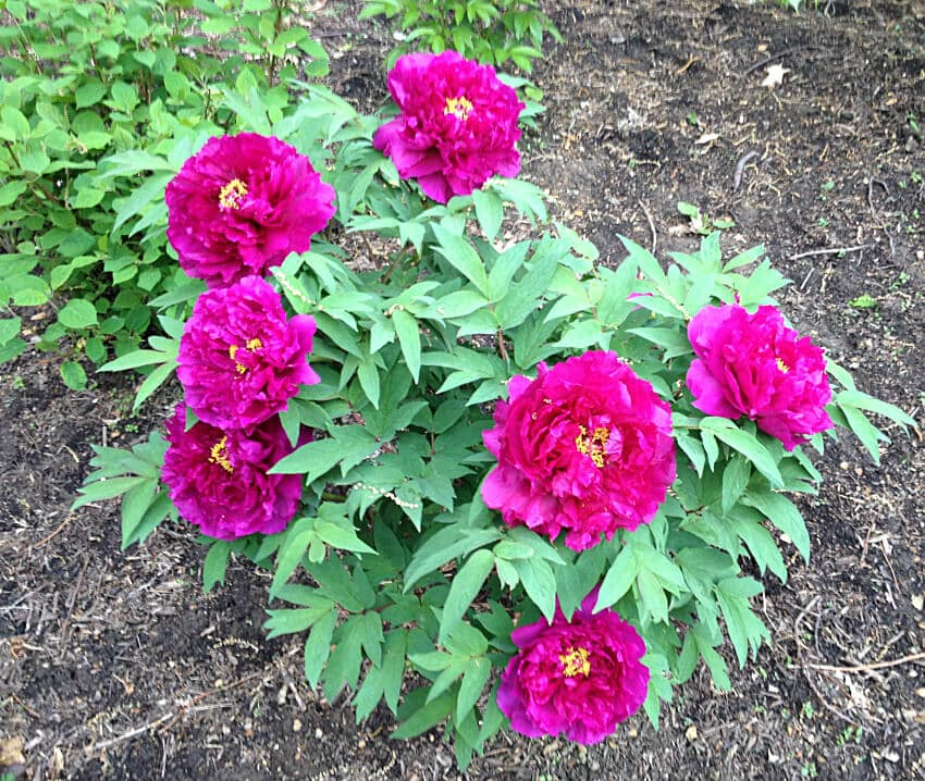 Fuchsia Tree Peony ~gardenmatter.com