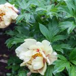 Peony Bush Praise – The Finest of all Garden Flowers