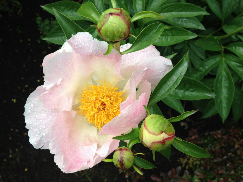 Single peony bloom