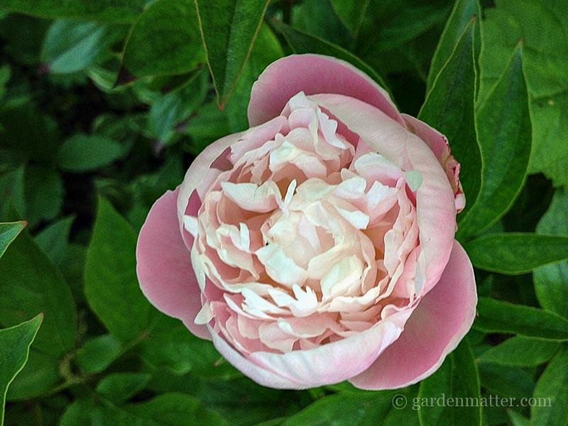 Sarah Bernhardt ~ Herbaceous Peony Bush