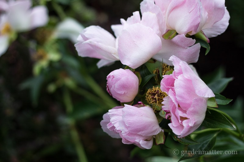 Single Blooming Peony ~ gardenmatter.com