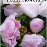 Single flower peonies