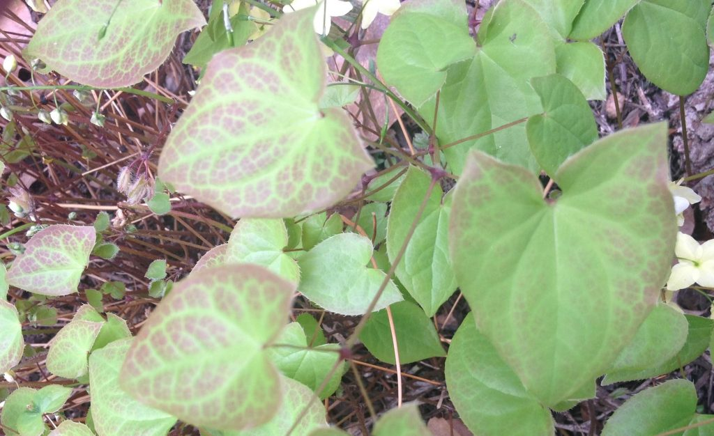 Barrenwort (Epimedium perralderianum)
