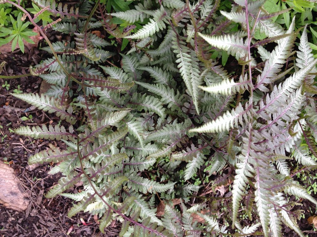 Japanese Painted Fern (Athyrium niponicum)