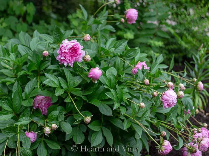 garden peony plant
