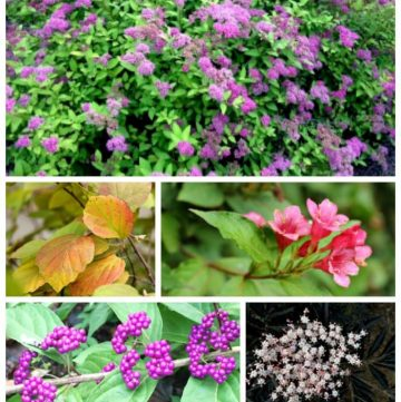 Learn about 5 must have shrubs that are easy to grow and have multiple seasonal interest.