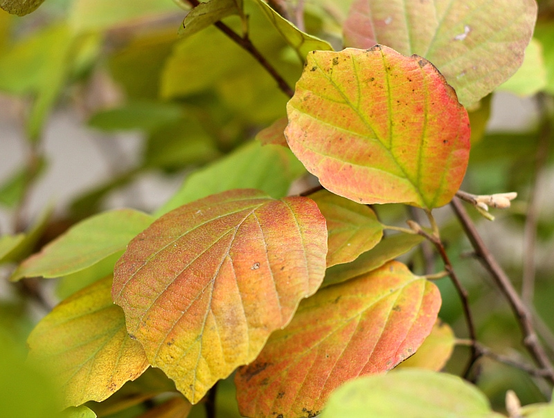 Beautiful fall color on fothergilla.
