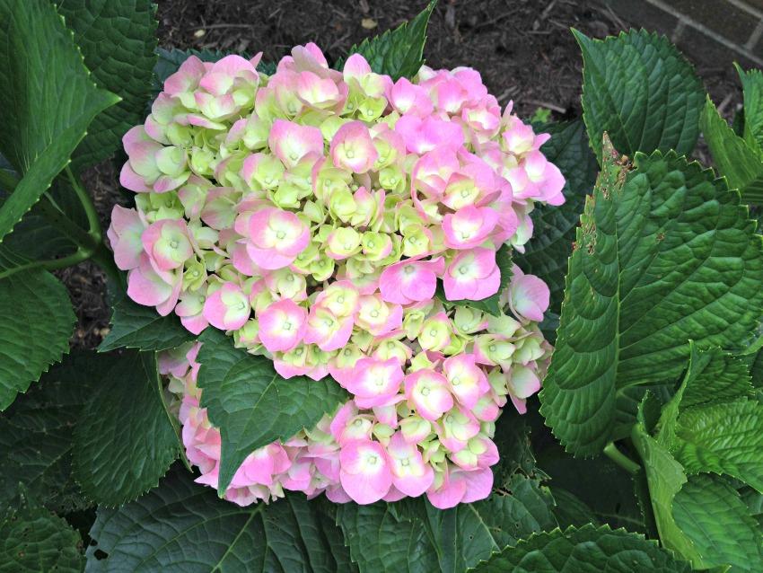 Pink flower hydrangea
