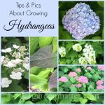 Learn about hydrangea macrophylla's - the big mophead varieties- and how you can get them to grow and bloom in your garden.