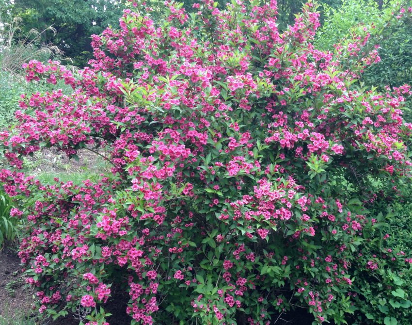Weigelia shrub flowering in the spring